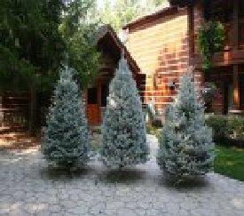 Sno tip christmas trees for Fish river tree farm